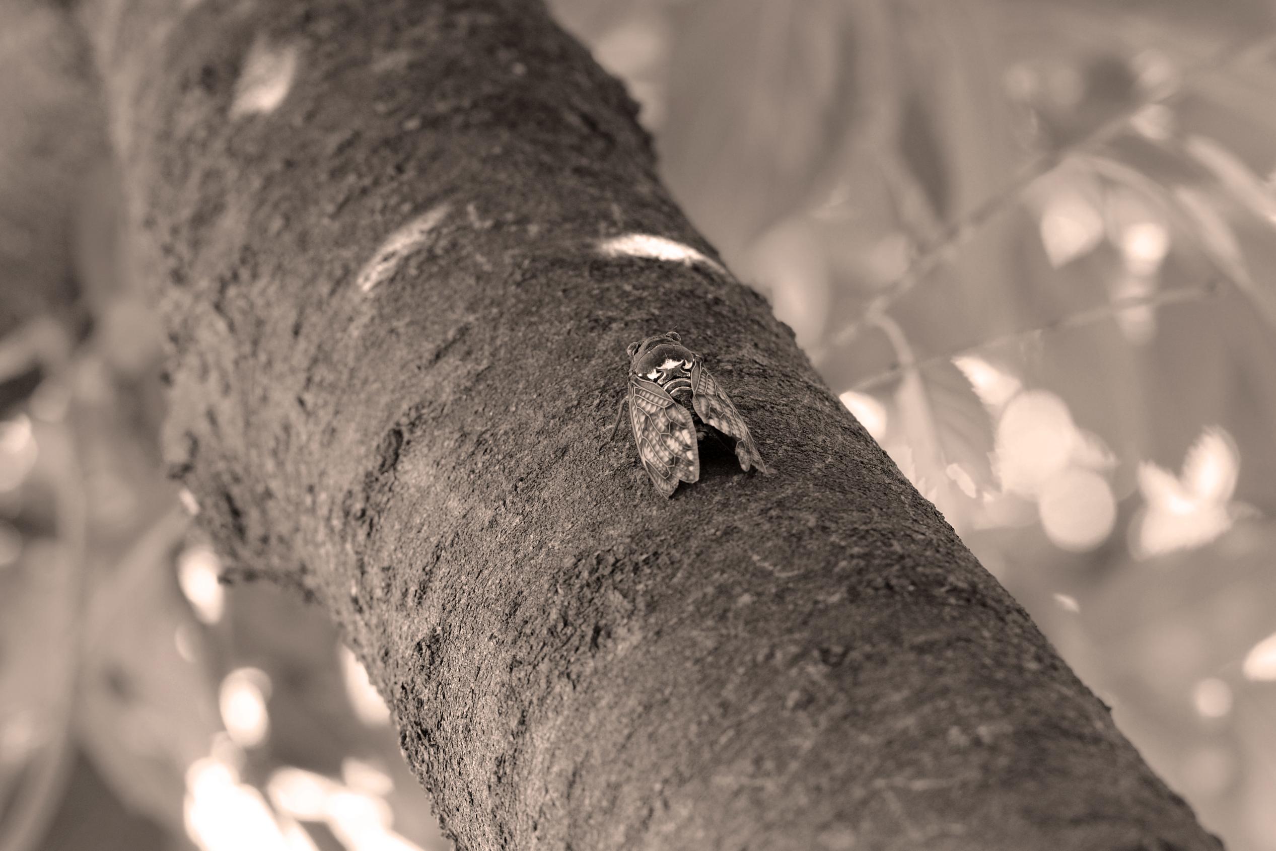 木に止まるセミの写真